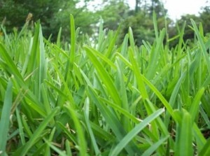 St. Augustine kosiarki trawy