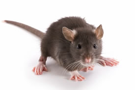 How to protect your home against rodents
