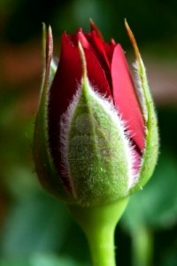 How to grow roses from buds