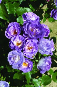 Blue Rose bush kastelu