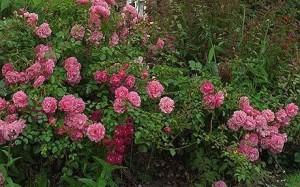 Rose pflege
