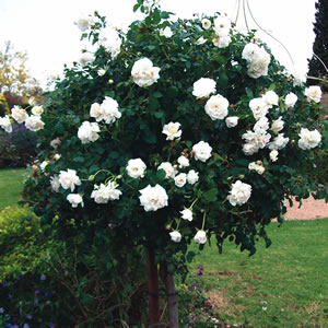 Flowers, How to grow roses in humid areas