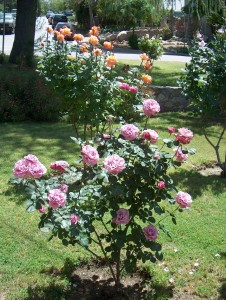 Tea rose bush growing