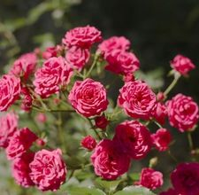 Flowers, How to prune miniature roses