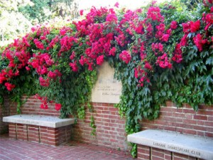 Flowers, Climbing roses