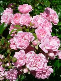 Rose omsorg tips
