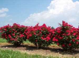 How to plant double knockout roses