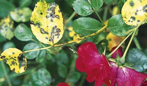 Tratamento de folhas de rosa que giram amarelo