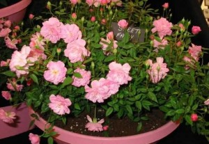 Flowers, Caring for miniature roses