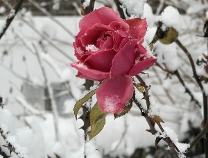 Rose caring: winter months