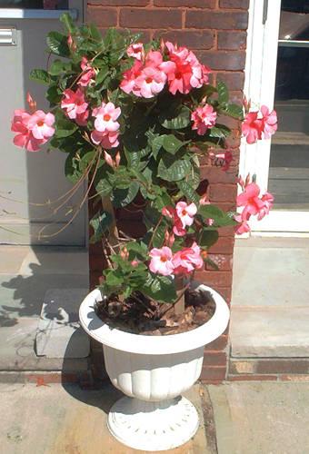 Vine mandevilla cuidado de las plantas
