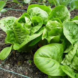 Harvesting and keeping lettuce