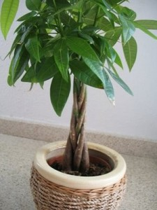 How to have a healthy Money Tree
