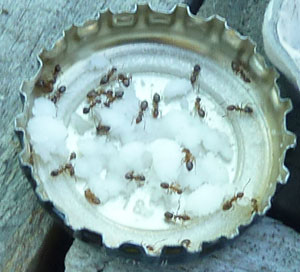 Borax – ant's enemy