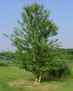 White birch tree pests