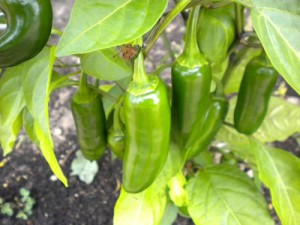 Produce jalapeno peppers in your own garden
