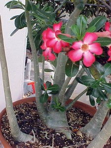 Special flowers - the Desert rose