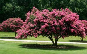 Tips to grow Crepe Myrtles trees