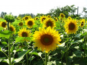 When to plant sunflower and edamame