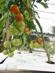 Aquaponic tomatoes