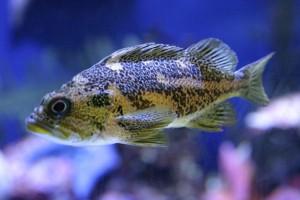 Aquaponic fish species