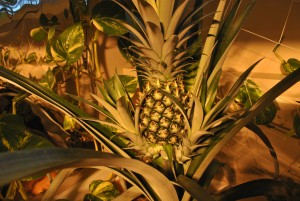 Growing hydroponic pineapples