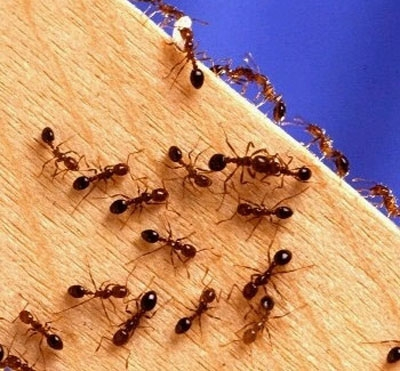 Get rid of ants the natural way