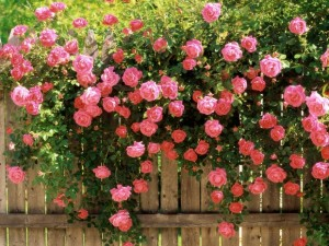 How to choose roses for your landscape