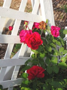 Summer heat protection for roses
