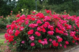 Places to plant knockout rose