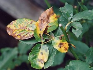 Estäminen ruusu tuholaisten ja tautien