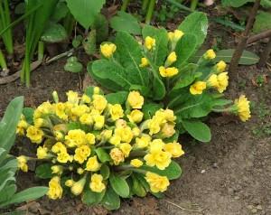Growing primroses