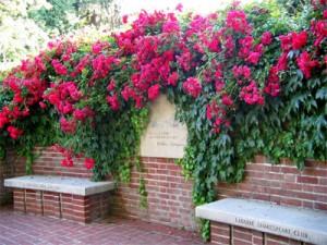 Rosas escalando