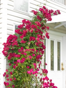 Improving cheap rose bushes