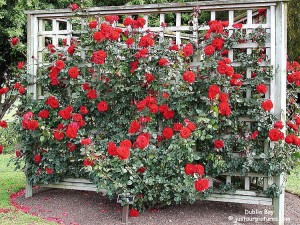Tips on how to build a trellis for climbing roses