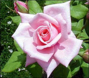 Rose bud bloei booster