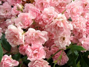 Pink rose bush watering