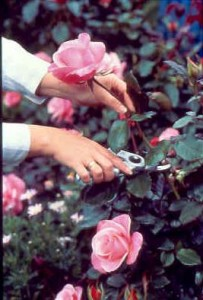 Pruning roses the right way