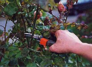Pruning potted roses