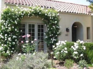 Planting and training a climbing rose