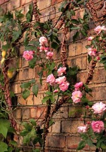 Growing healthy climbing roses