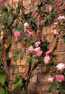 Crescimento saudável rosas de escalada