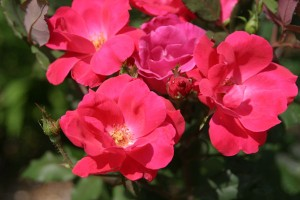Planting a knock out rose