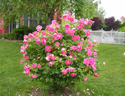Tips for growing splendid roses