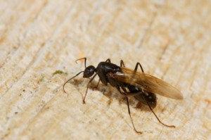 Easy methods to get rid of flying ants