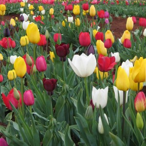 Tulips – Bulb care after blooming