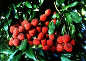 Rare fruit trees from China