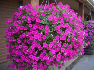 How to extend the blooming period for petunias