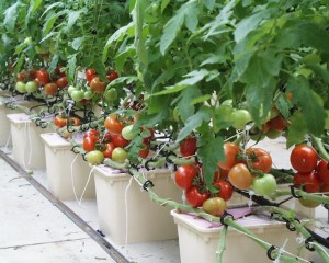 Vegetables for a hydroponic garden