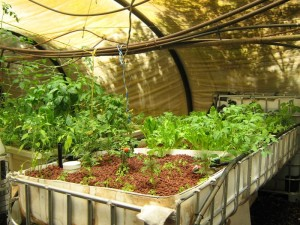 Using an IBC for an aquaponic system